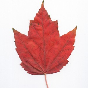 Photo of a Red Maple Leaf.