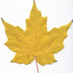 Photo of a Sugar Maple Leaf.