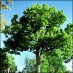 Adopt a Maple Tree